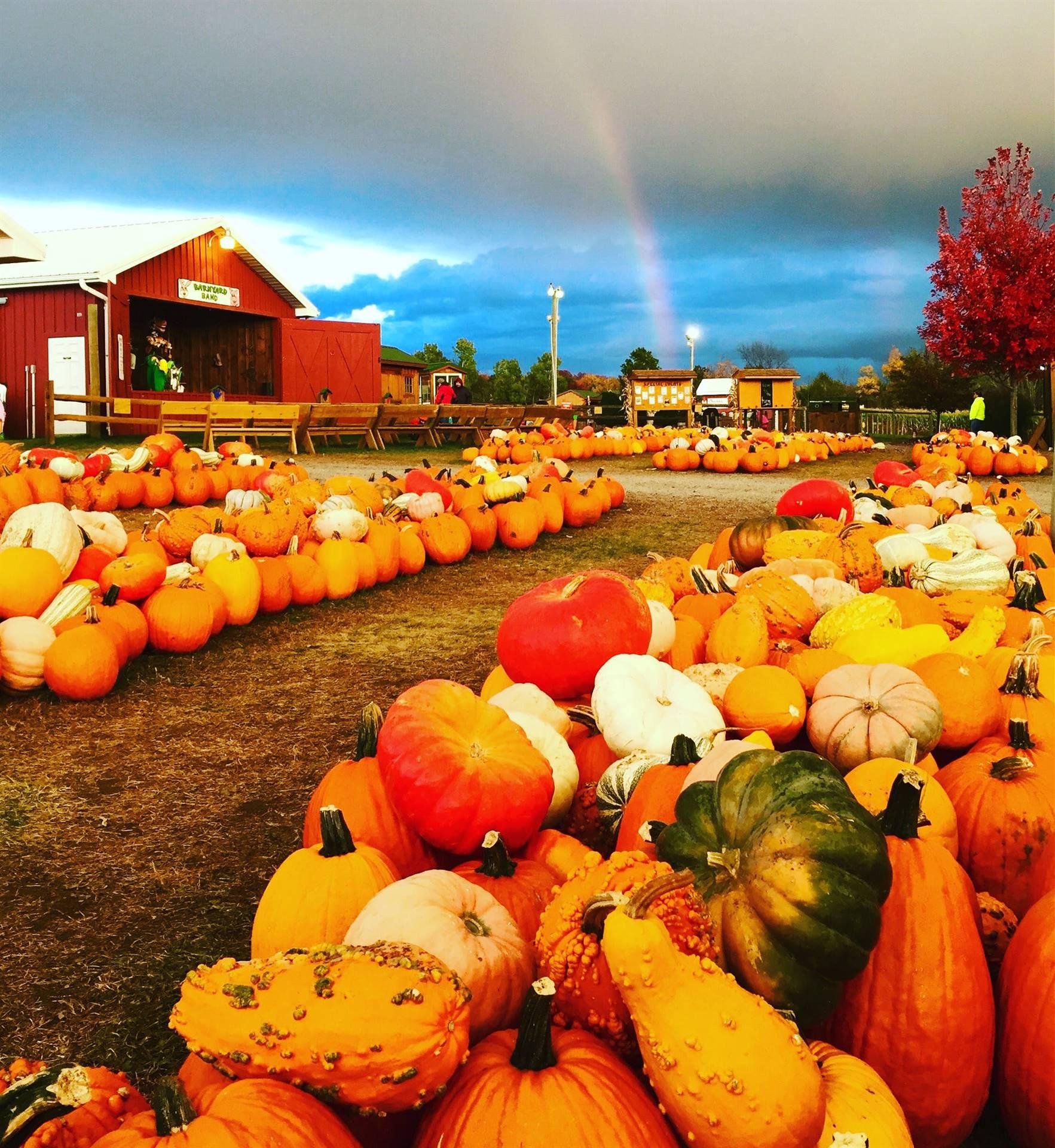 Pumpkins at Roba Farms