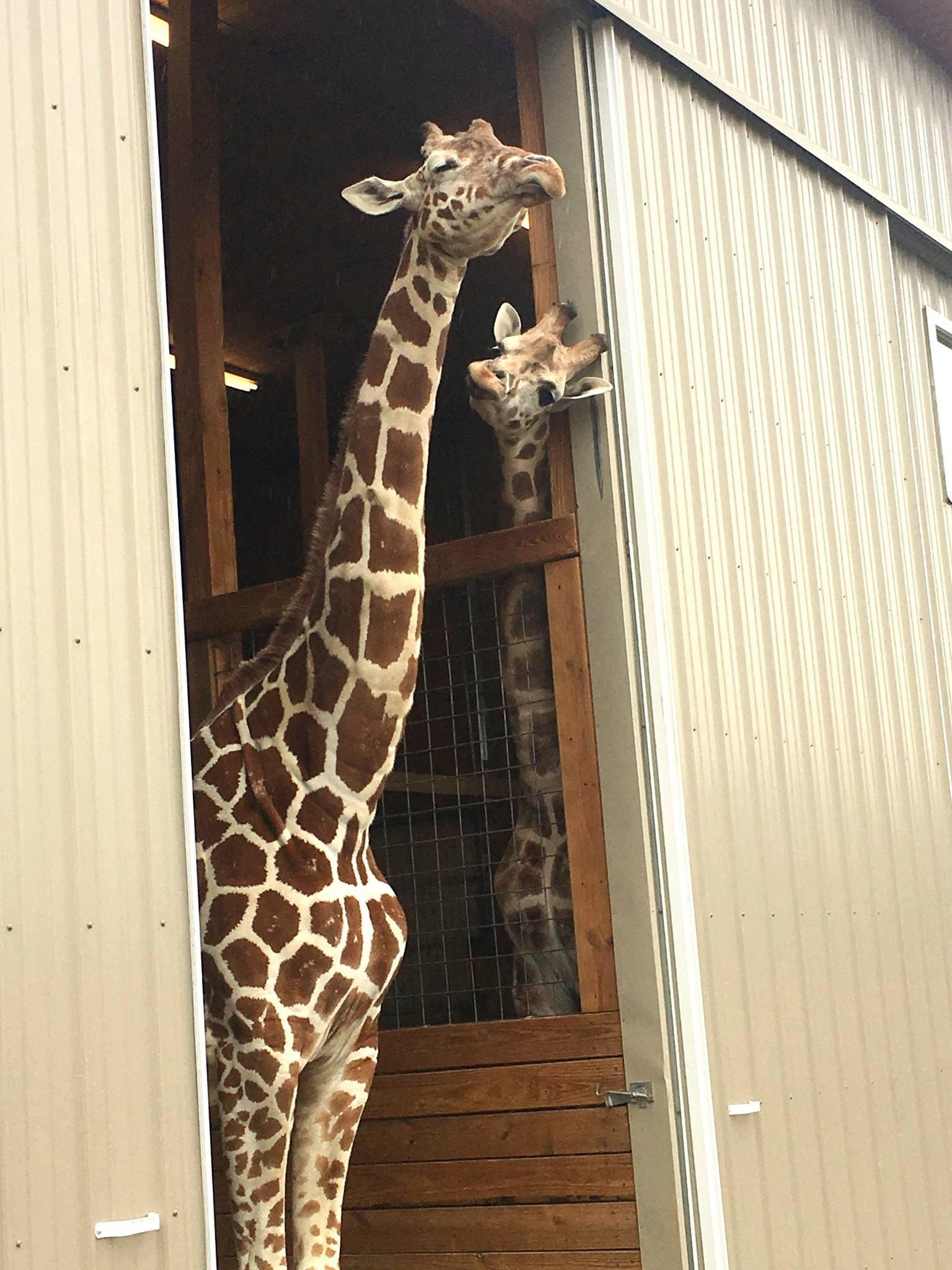 April the Giraffe at Animal Adventure
