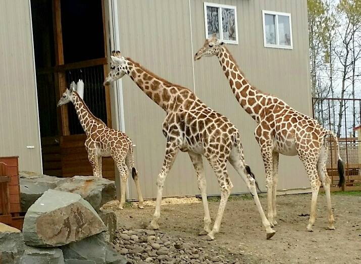 Giraffe Family at Animal Adventure